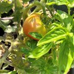 half-ripe tomato on the vine